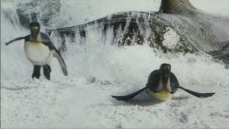 Penguins escape from an orca