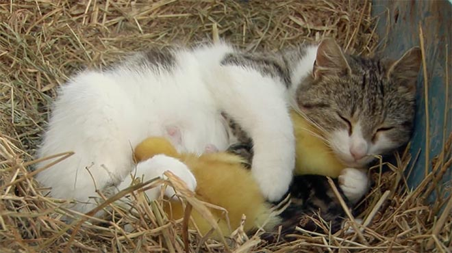Android Friends Furever Cat and Ducklings