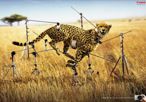 Cheetah in Canon Ixus print advertisement
