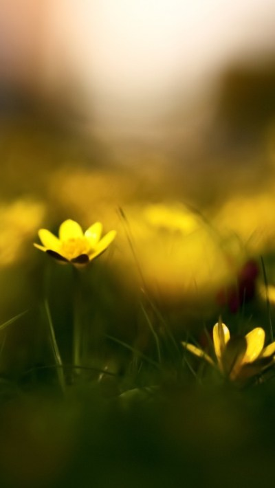 Close-up Yellow Flowers - The iPhone Wallpapers