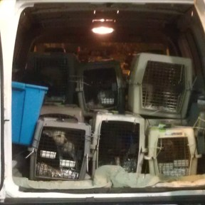 A vehicle transports dogs from JFK International Airport in New York City to the Tompkins County SPCA in Ithaca. They arrived from Los Angeles.