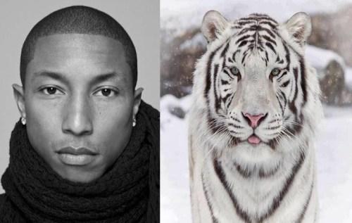 Pharrell-tiger