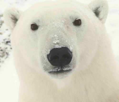 --animal-rights-polar-bears