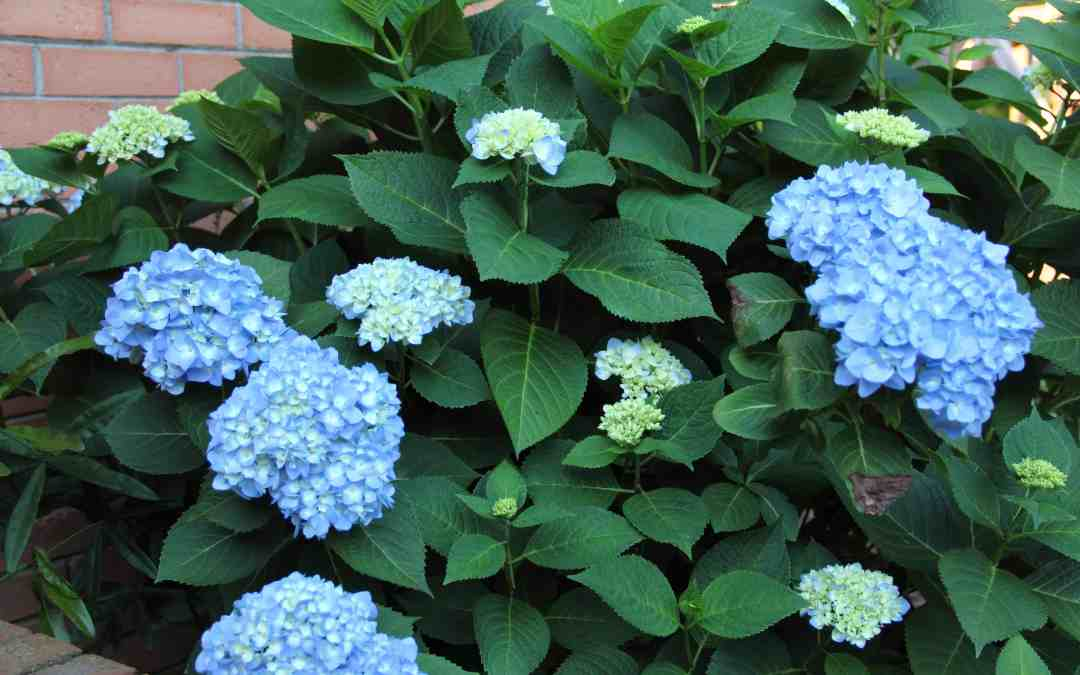 Why and How to Prune Hydrangeas