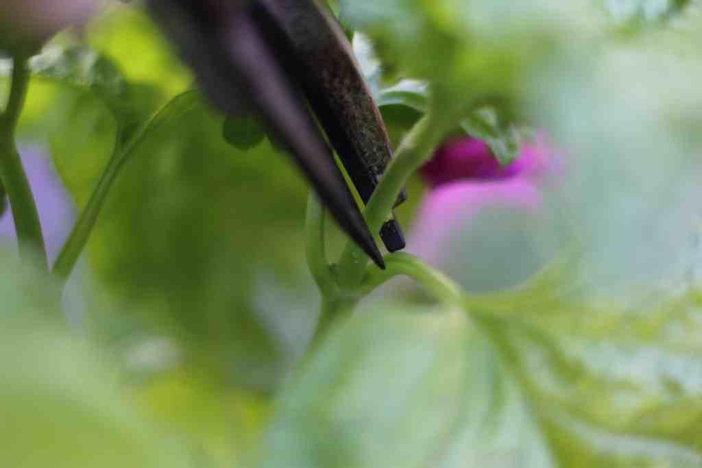 cutting basil