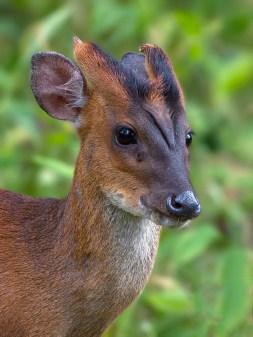 Barking deer (Credit: Wikimedia Commons)