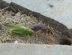 Small Of Great Golden Digger Wasp