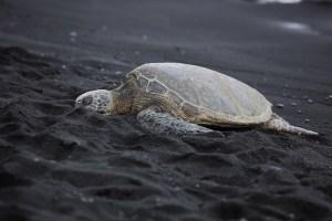 black-sand-beach-punaluu-beach-one-of-the-worlds-most-beautiful-beaches