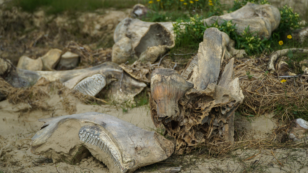 The remains of a mammoth, found by reindeer herders on the Yamal Peninsula after the collapse of the soil in the summer.