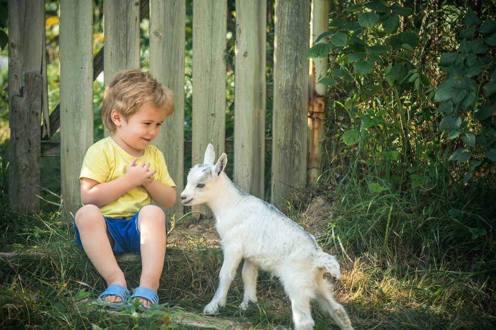 Goats can be perfect pets, just like a dog