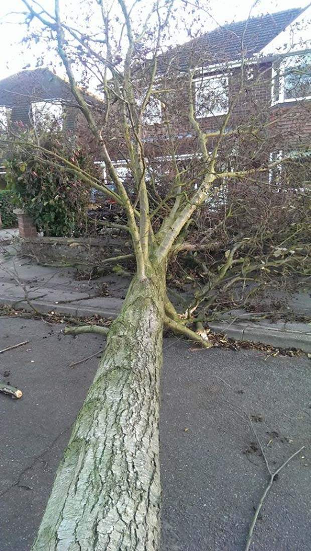 Large tree downed by the wind near The Forum in North Hykeham. Photo: Andrew Scott