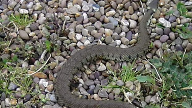 The rescued grass snake
