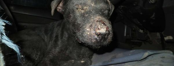 Terrier Pip following the ordeal. Photo: RSPCA
