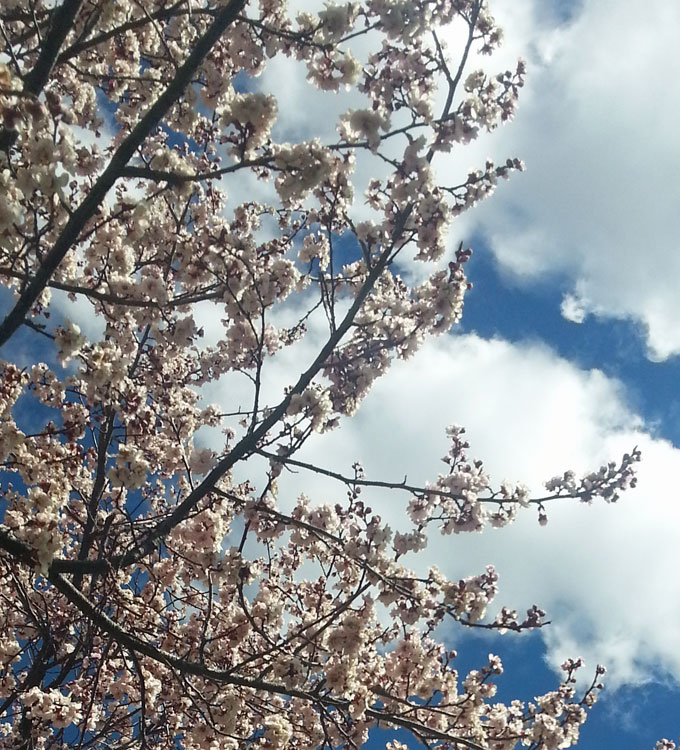thelocalist.com-canberra-cherry-blossoms