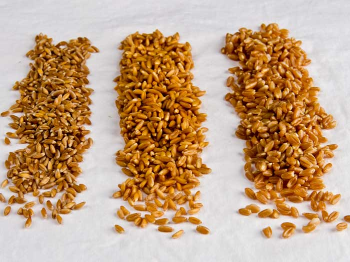 Dry, Hydrated  & Cooked Farro