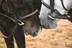 horses nuzzling - Flickr CC - Five Furlongs
