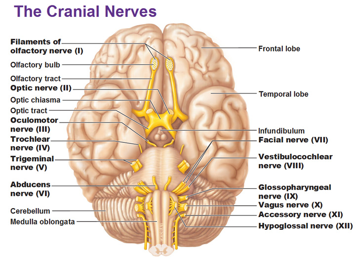 The 12 Cranial Nerves theMDhub