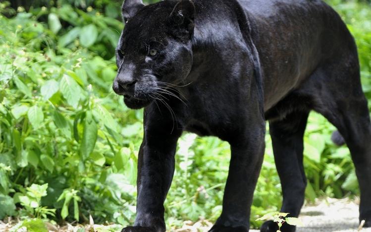 Black Panther Animal Wallpaper Black Panther Windows 10 Theme Themepack Me