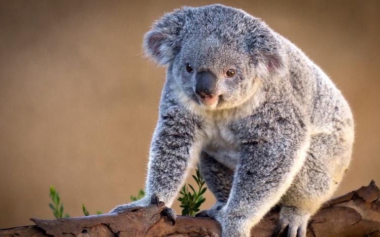 Cute Baby Hedgehog Wallpaper Koala Windows 10 Theme Themepack Me