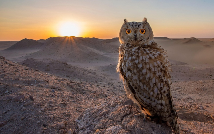 Cute Pet Animals Hd Wallpapers Owl Windows 10 Theme Themepack Me