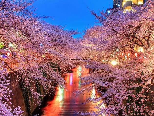 o_hanami_blossom_sakura_japan