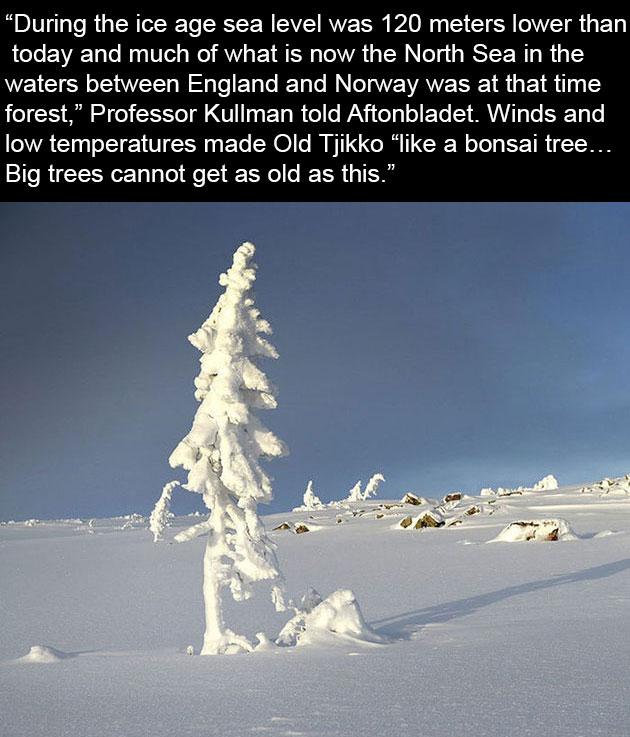 oldest tree old tjikko sweden