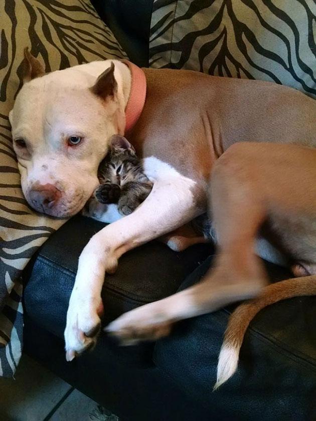 pitbull cuddling