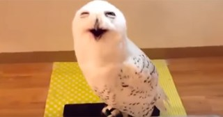What This Snow Owl Did After It Was Rescued Is The Funniest Thing You'll See All Day!