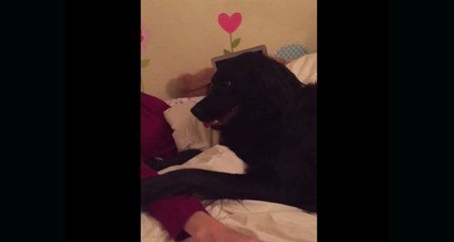 A Dog Refuses To Get Off The Bed In The Funniest Way Possible. You Won't Want To Miss This.