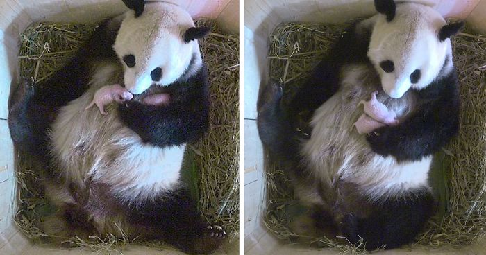 Giant Panda Surprises Zookeepers With Twin Cubs, While Scans Only Showed One Cub