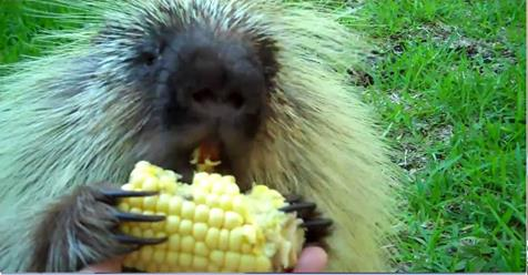 Did You Know That Porcupines Make Adorable Noises? Just Watch This…