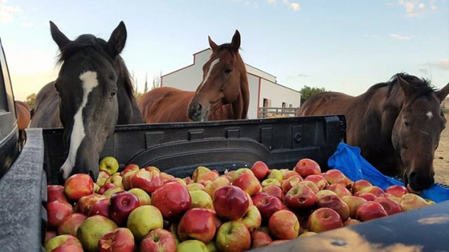 Group Of Rescue Horses Goes Bonkers Over A Truck Full Of Apples