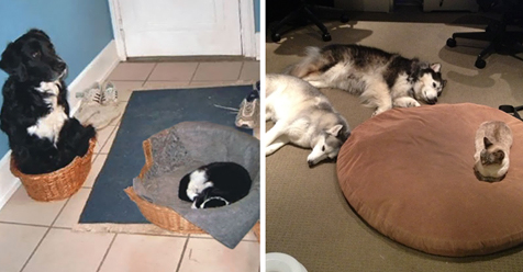 22 Asshole Cats Who Stole Dog Beds And Didn't Give A Damn About The Pawlice