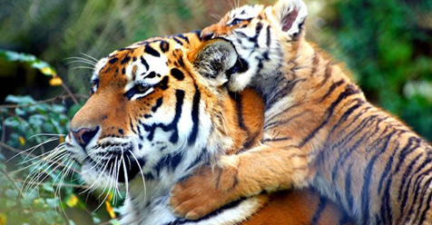 India Saves Its Tigers Instead of Mining For $330M in Diamonds