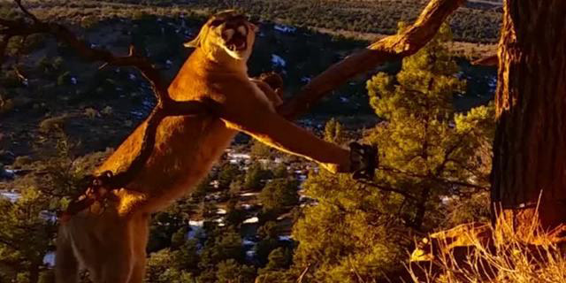 Rescuers Free A Furious Mountain Lion From A Bobcat Trap In Utah Wilderness