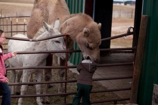 Camel Eating Child