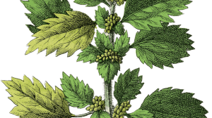 Herbs for Menopause: Nettle