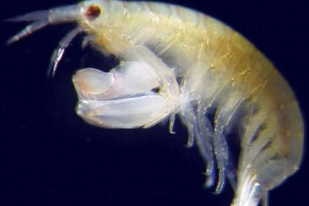new-species-crustacean