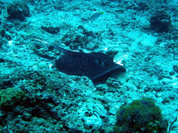 Club Med Kani Maldives Diving Stingray