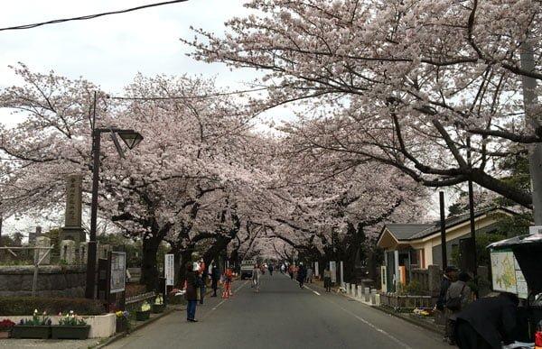 Tokyo Yanaka Sakura Row
