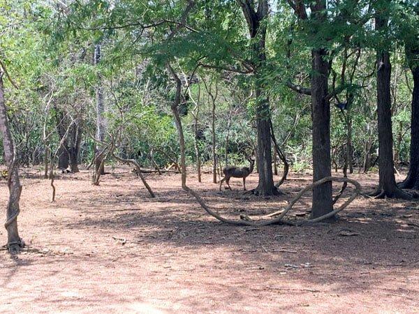 Komodo Loh Liang Deer