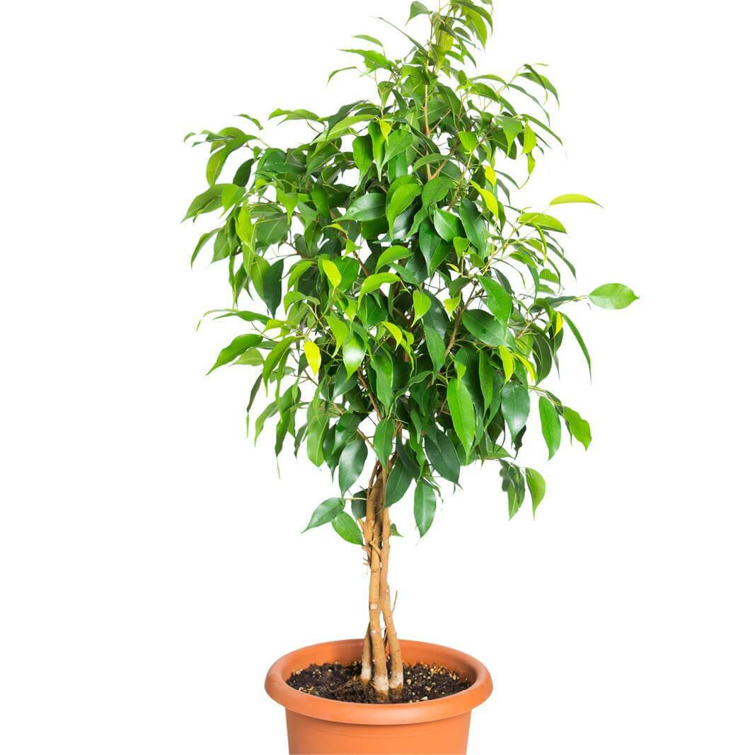 Sonnenstuhl Clipart Bonsai Kamerplant