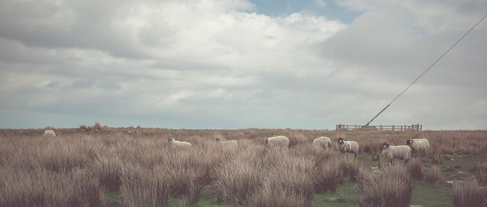 Wildcamping on Dartmoor | North Hessary Tor Sheep