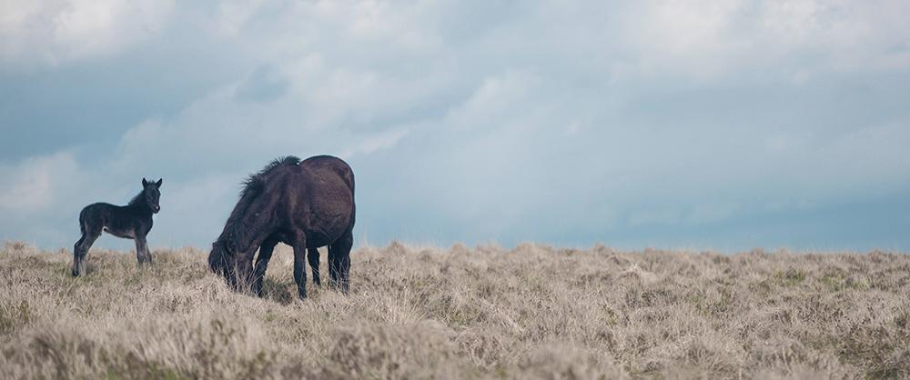 Wildcamping on Dartmoor | North Hessary Tor Horses