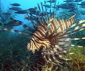 Florida Keys Lionfish