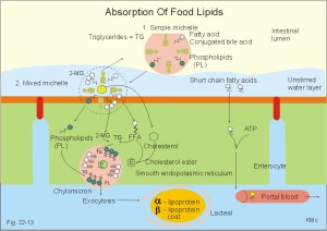 lipid-absorption