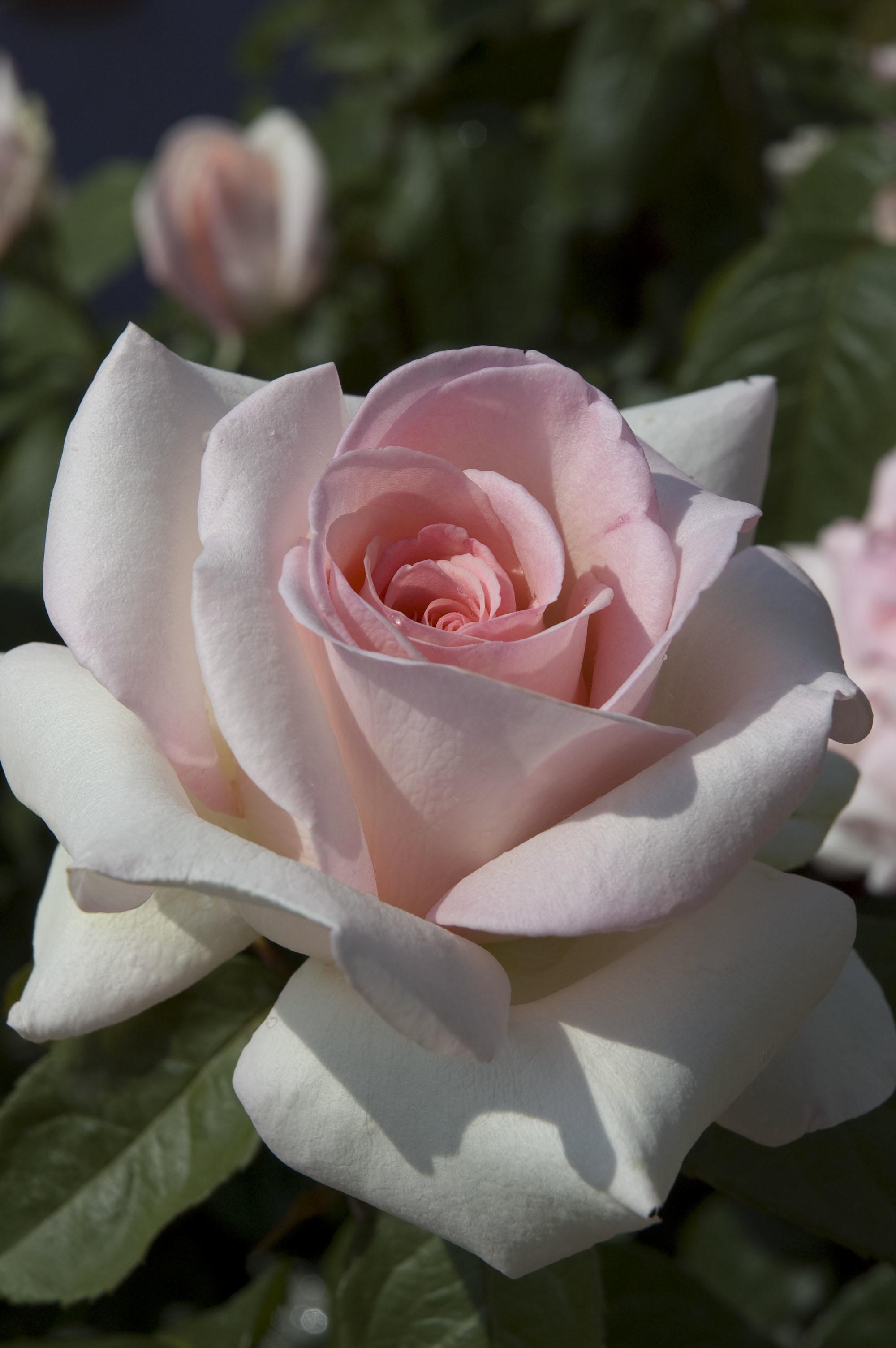 Fullsize Of Fragrant Cloud Rose