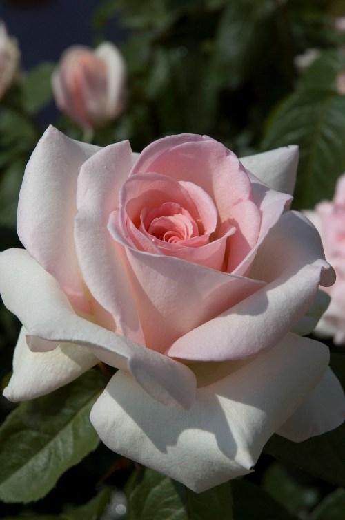 Medium Of Fragrant Cloud Rose