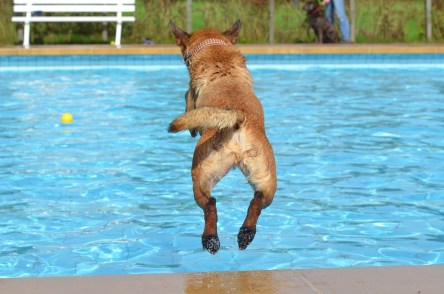 dog jumps in pool