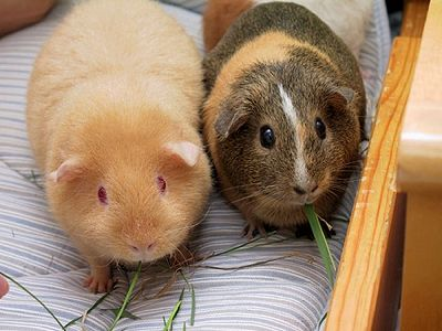 Lice and Your Guinea Pig - The Pet Wiki